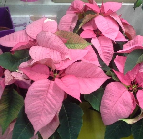 diferentes colores en la flor de pascua